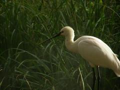 animal, fauna, great egret, pelecaniformes, beak, bird, wildlife,