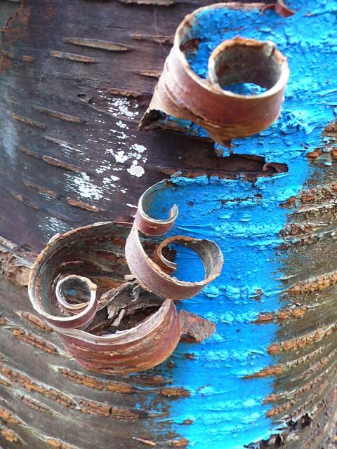 blauw bastkrulletje