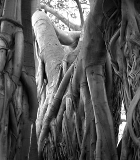 banyan tree detail