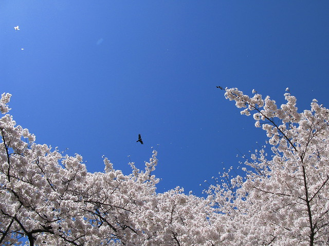 Cherry blossoms / Sakura / 桜