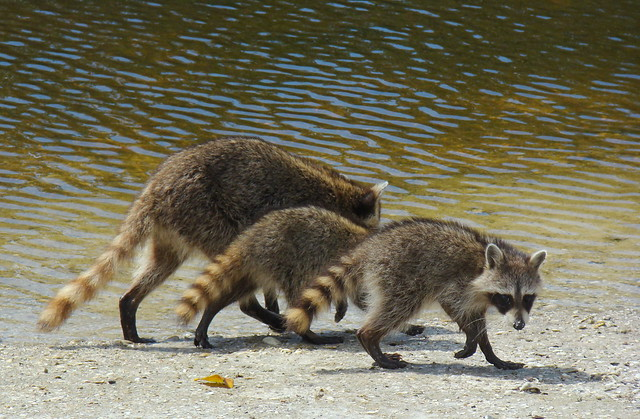 Raccoon family | Very different animal from those up north ...