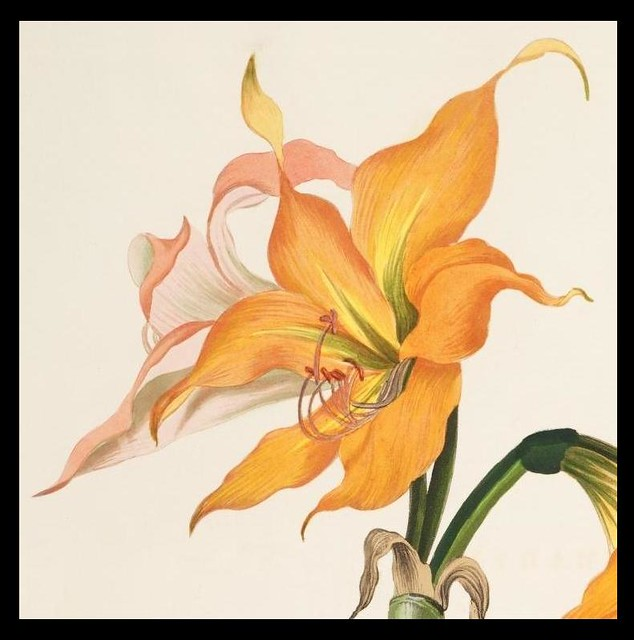 Amaryllis crocata