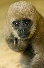 gibbon, nose, animal, monkey, mammal, fauna, close-up, old world monkey, new world monkey, wildlife,