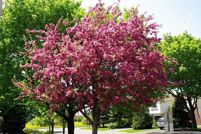 Flowering crabapple tree flickr photo sharing for Flowering ornamental trees zone 5