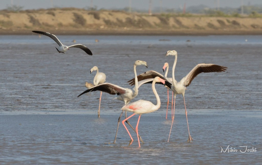 Greater Flamingo [Flamenco Común]