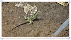 20041017_Guana@BVI_Iguana_001_A