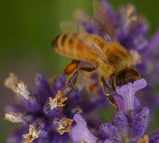 abeja de la miel salvaje 2