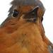 Robin Singing by Mark_Coates