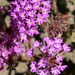 desert sand verbena - Photo (c) slworking2, some rights reserved (CC BY-NC-SA)