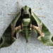 Pandorus Sphinx Moth - Photo (c) Sean, some rights reserved (CC BY-NC-ND)