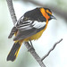 Bullock's Oriole - Photo (c) Jerry Oldenettel, some rights reserved (CC BY-NC-SA)