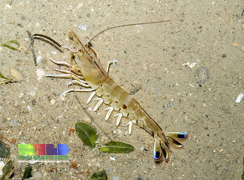 Blue tail shrimp