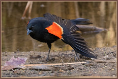 Red-winged Male Yoga 5339