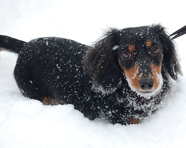 Funny Cute Puppy Mini Long Haired Dachshund in the Snow
