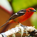 Flame-colored Tanager - Photo (c) Jerry Oldenettel, some rights reserved (CC BY-SA)
