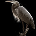 Great Blue Heron by John's Love of Nature