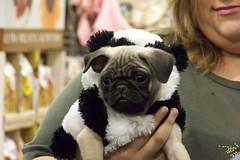 puppy love(0.0), dog breed(1.0), animal(1.0), dog(1.0), pet(1.0), mammal(1.0), toy bulldog(1.0), pug(1.0),