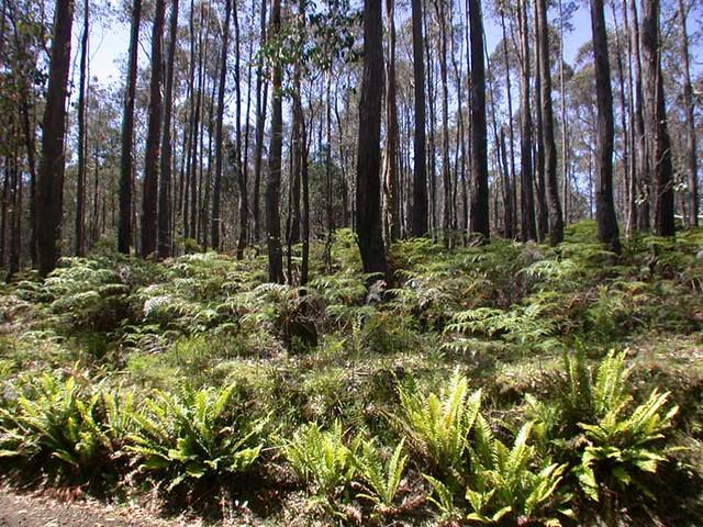 sousbois (forêt Eucalyptus)  Flickr  Photo Sharing! ~ Eucalyptus Bois