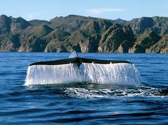 Blue whale, Loreto, Baja California Sur