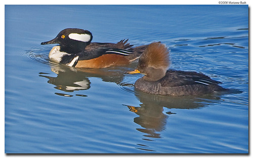 Hooded Mergansers, male and female