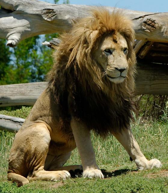 Lion sitting - photo#7