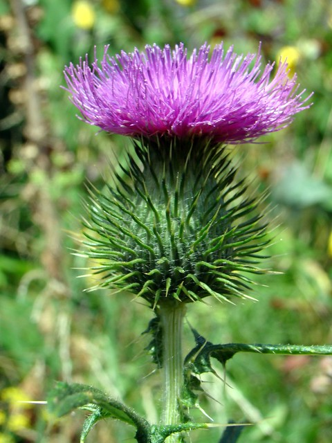 Scotch Thistle definition/meaning