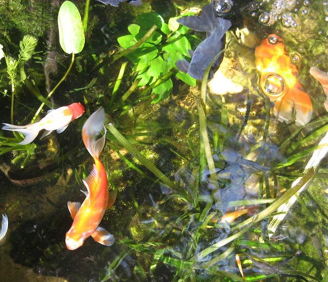 Fish Pond Flickr Photo Sharing