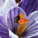 bee and crocus