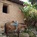 Caballo - horse; Tambla, Lempira, Honduras