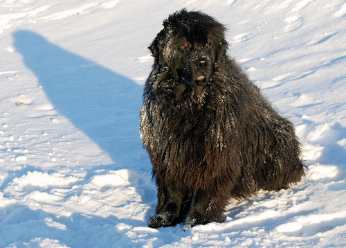 Angus, the Newfoundland Dog