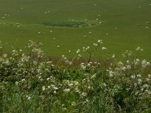 Cow parsley'n'sheep