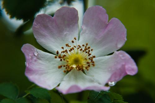 Wild-looking garden rose flowering