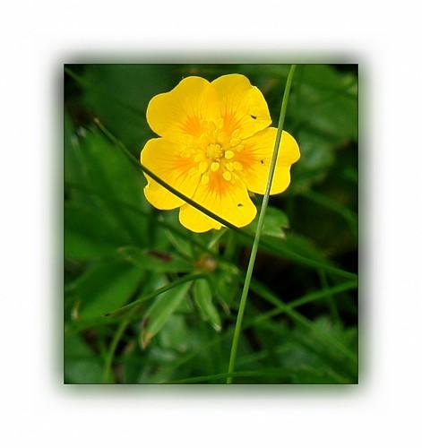 flower austria flora blossom bloom wildflower hohetauern
