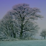 Trees in the frost