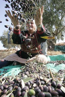 A Palestinian woman throws olives