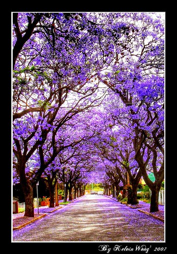 Jacaranda Blossom