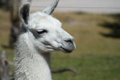 alpaca(1.0), animal(1.0), mammal(1.0), llama(1.0), fauna(1.0), vicuã±a(1.0), guanaco(1.0),