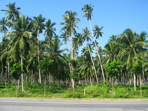 Pohonan Kelapa