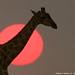 Giraffe backlit by Etosha Pan Sunset 110_1070_RJ by WildImages