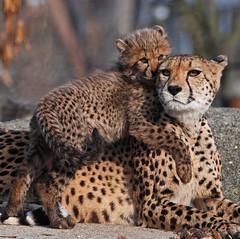 Geparden 2007 Nov 29 -D80- 050