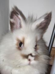 cat(0.0), whiskers(0.0), animal(1.0), rabbit(1.0), domestic rabbit(1.0), pet(1.0), angora rabbit(1.0), rabits and hares(1.0),