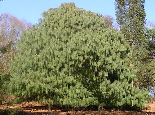 Unusual conifer