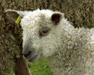 sheep's portrait