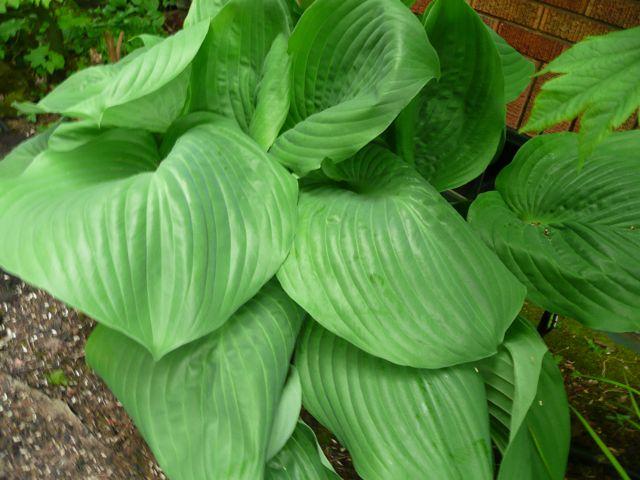 Giant Leafed Hosta Flickr Photo Sharing