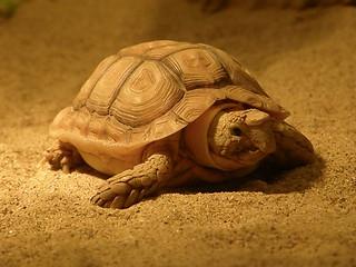 Beaked cape tortoise
