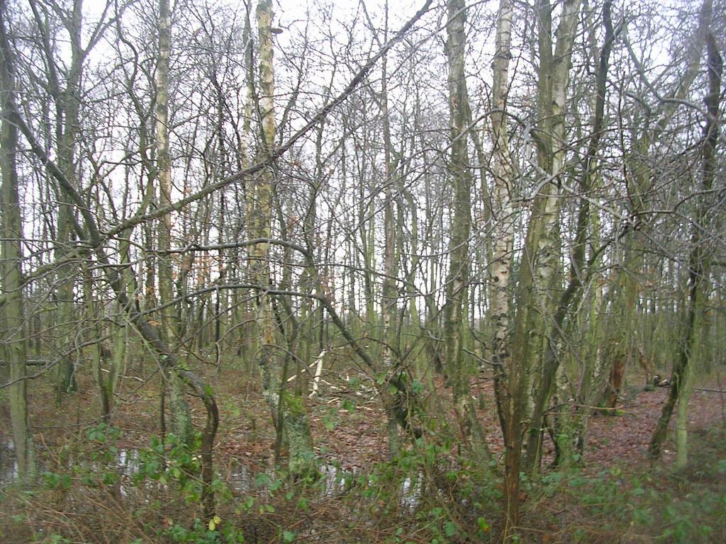 Wet woodland Greenham Common. Newbury Racecourse to Woolhampton