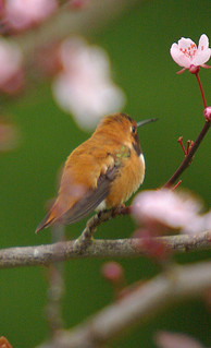 Rufous In the tree