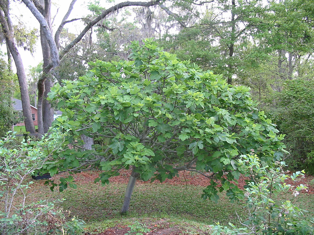 Fig tree in backyard flickr photo sharing for Small hardy trees