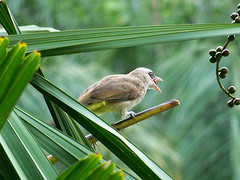 Yellow vented bulbul swallowing fruit 2