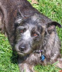 hound(0.0), berger picard(0.0), glen of imaal terrier(0.0), standard schnauzer(0.0), schnauzer(0.0), cairn terrier(0.0), german wirehaired pointer(0.0), miniature schnauzer(0.0), patterdale terrier(0.0), dog breed(1.0), animal(1.0), dog(1.0), scottish deerhound(1.0), pet(1.0), mammal(1.0), vulnerable native breeds(1.0), irish wolfhound(1.0), hunting dog(1.0), terrier(1.0),